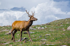 Rocky Mountain Elk Stockbild