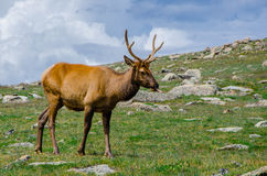 Rocky Mountain Elk Royaltyfria Bilder