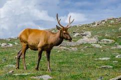 Rocky Mountain Elk Royaltyfria Bilder