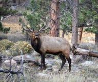 Rocky Mountain Elk Arkivfoto