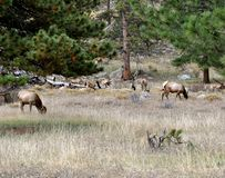 Rocky Mountain Elk Royaltyfri Foto