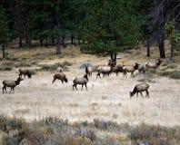 Rocky Mountain Elk Fotografering för Bildbyråer