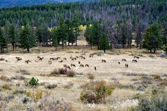 Rocky Mountain Elk Royaltyfri Fotografi