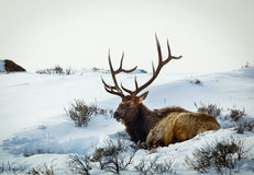 Rocky Mountain Elk Fotografia de Stock