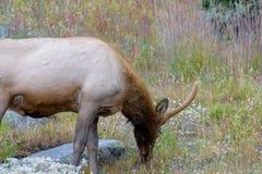 Elk browsing on wildflowers. Rocky Mountain elk browsing on wildflowers Stock Photos