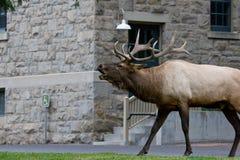 Rocky Mountain Elk Bugling Arkivfoton