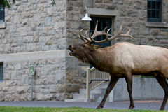 Rocky Mountain Elk Bugling Near Building Stock Photos