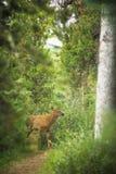 Rocky Mountain Elk Calf Stock Photo