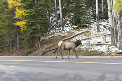 Rocky Mountain Elk crossing the road. Royalty Free Stock Image