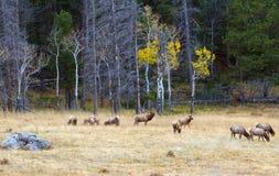 Rocky Mountain Elk in der Fallfurche Lizenzfreies Stockfoto