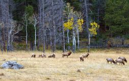 Rocky Mountain Elk in the fall rut. In the mountains. The bull elk is watching over his harem of cow elk in a meadow at Rocky Mountain National Park Royalty Free Stock Photo