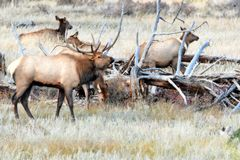 Rocky Mountain Elk in the fall rut. In the mountains. The bull elk is watching over his harem at Rocky Mountain National Park Royalty Free Stock Photos