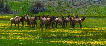 Rocky Mountain Elk Stock Photography