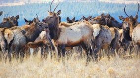 Rocky Mountain Elk Herd stock afbeelding