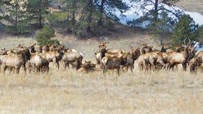 Rocky Mountain Elk Herd royalty-vrije stock foto's