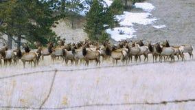 Rocky Mountain Elk Herd royalty-vrije stock afbeeldingen