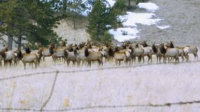 Rocky Mountain Elk Herd royalty free stock images