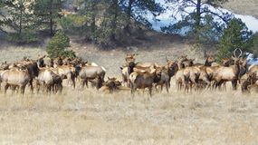 Rocky Mountain Elk Herd. On the Move in Colorado royalty free stock photos