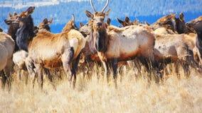 Rocky Mountain Elk Herd vigilante immagine stock libera da diritti