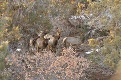 Rocky Mountain Elk kalbt neugierig, aber misstrauisches Blicken durch die Zedern Stockbilder