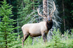 Rocky Mountain Elk (lat. Cervus canadensis) Royalty Free Stock Photo