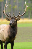 Rocky Mountain Elk Stock Photography