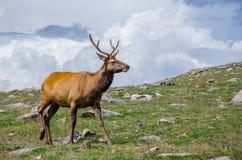 Rocky Mountain Elk Stock Image