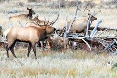 Rocky Mountain Elk nella carreggiata di caduta Fotografie Stock Libere da Diritti