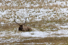Rocky Mountain Elk resting on snowy field. Royalty Free Stock Images