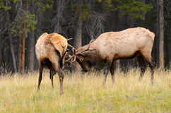 Rocky Mountain Elk Rutting Stock Image