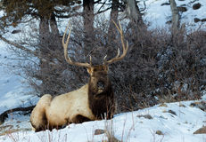 Rocky Mountain Elk. A Rocky Mountain Elk watches the world go by in Yellowstone National Park, Wyoming Stock Images