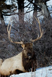 Rocky Mountain Elk Stock Photos
