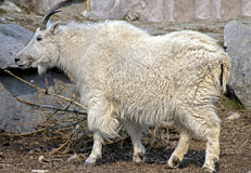 Rocky mountain goat 1 Stock Photography