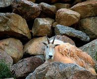 Rocky Mountain Goat. A young mountain goat ram resting among the rocks on the side of a rugged slope Stock Images