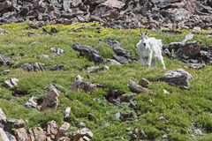 Rocky Mountain Goat Royalty Free Stock Photos
