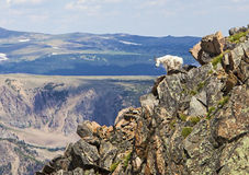 Rocky Mountain Goat. The white and wild Rocky Mountain Goat scales the rocks in the high alpine tundra of the Beartooth Mountains in the west royalty free stock images