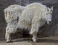 Rocky mountain goat 3 Royalty Free Stock Image