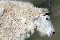 Rocky Mountain Goat Immagini Stock