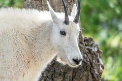 Rocky Mountain Goat Closeup royaltyfri foto