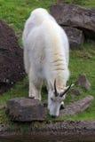 Rocky Mountain Goat Grazing Royaltyfri Bild