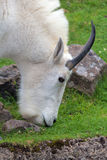 Rocky Mountain Goat Grazing Closeup Stock Images