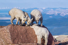 Rocky Mountain Goat Kids Stock Photo