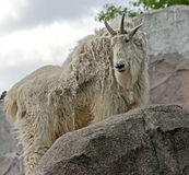 Rocky mountain goat 7 Stock Photography