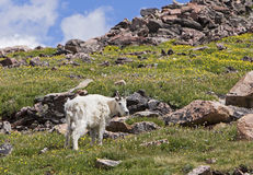 Rocky Mountain Goat in mountains Royalty Free Stock Photo
