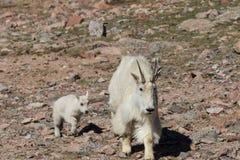 Rocky Mountain Goat Nanny y niños imagen de archivo libre de regalías