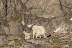 Rocky Mountain Goat Nanny y niños en el alpino fotografía de archivo libre de regalías
