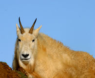 Rocky Mountain Goat (Oreamnos americanus). The Rocky Mountain goat (Oreamnos americanus), often called simply mountain goat, is a large hoofed mammal found only Stock Images
