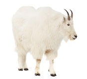 Rocky mountain goat over white background Royalty Free Stock Photos