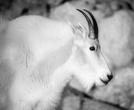 Rocky Mountain Goat. A portrait of a Mountain Goat on the summit of Mount Evans in Colorado Royalty Free Stock Photography