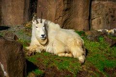 Rocky Mountain Goat Stock Photography